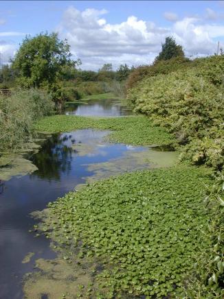 Floating Pennywort - invasive species