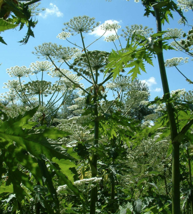 Giant Hogweed - invasive species