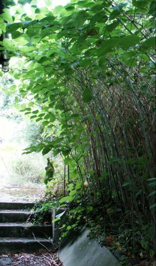 Japanese Knotweed - Invasive Species