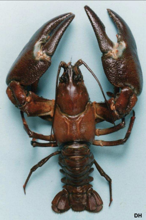 Signal Crayfish - invasive species
