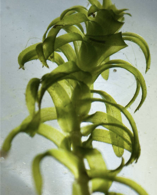 Nuttall's Waterweed - invasive species