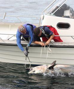Marine-Bluefin-Tuna-being-tagged-Credit-Markus-Lundgren-x550px-248x300.jpg