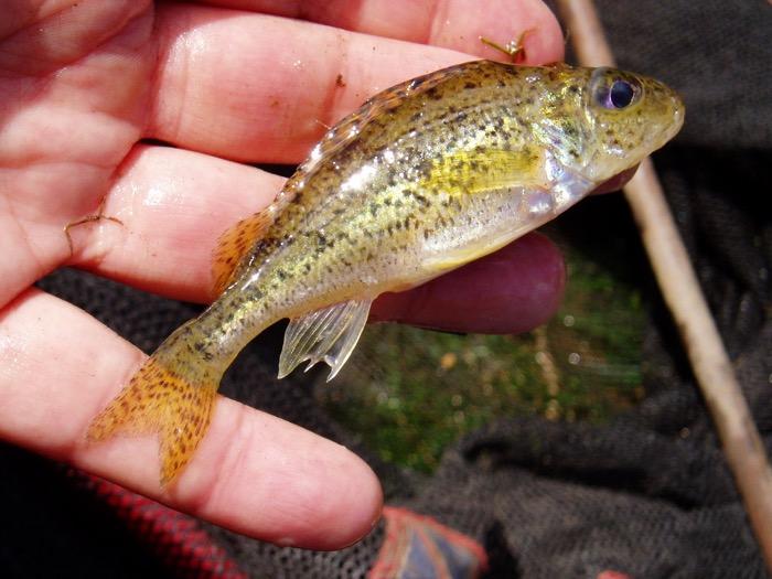 ruffe fishing
